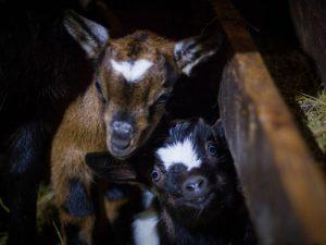 chèvres au pays des carrioles