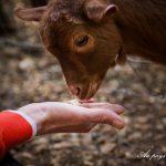 chevres parc insolite parc animalier au pays des carrioles Hérault