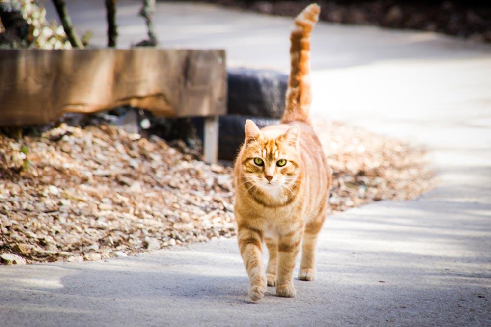 chat roux au pays des carrioles la boissiere