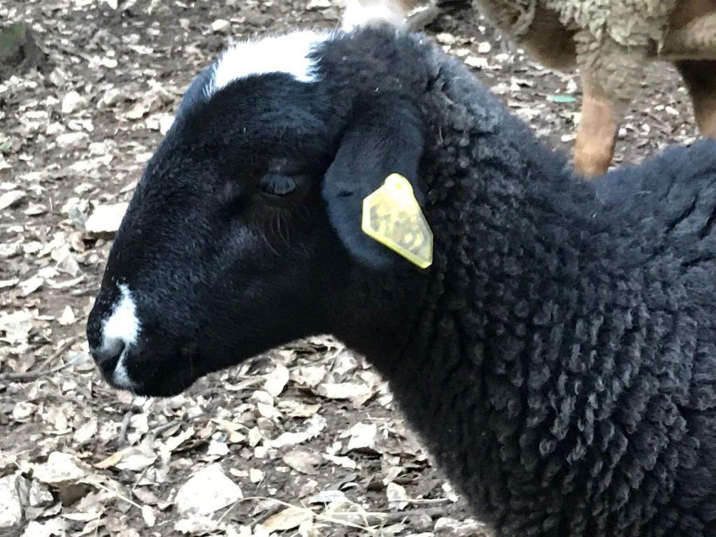 moutons noirs moutons lacaune parc enfants avec animaux en semi liberte dans les bois